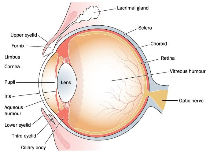 Why Are My Eyes Red, Harold P. Freeman, eye anatomy